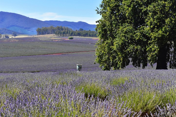 Lavander Fields, Tasmania