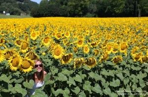 Austrian Sunflowers