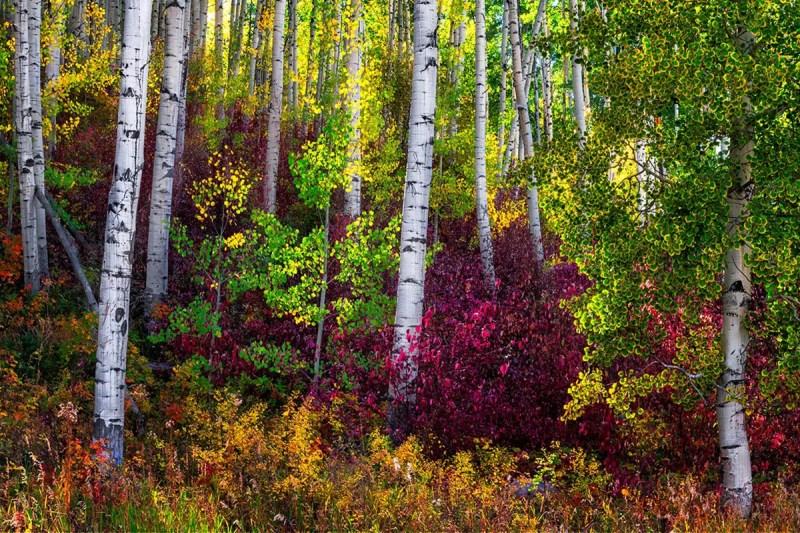 Aspen Forest in Vail Colorado Fine Prints Wall Art