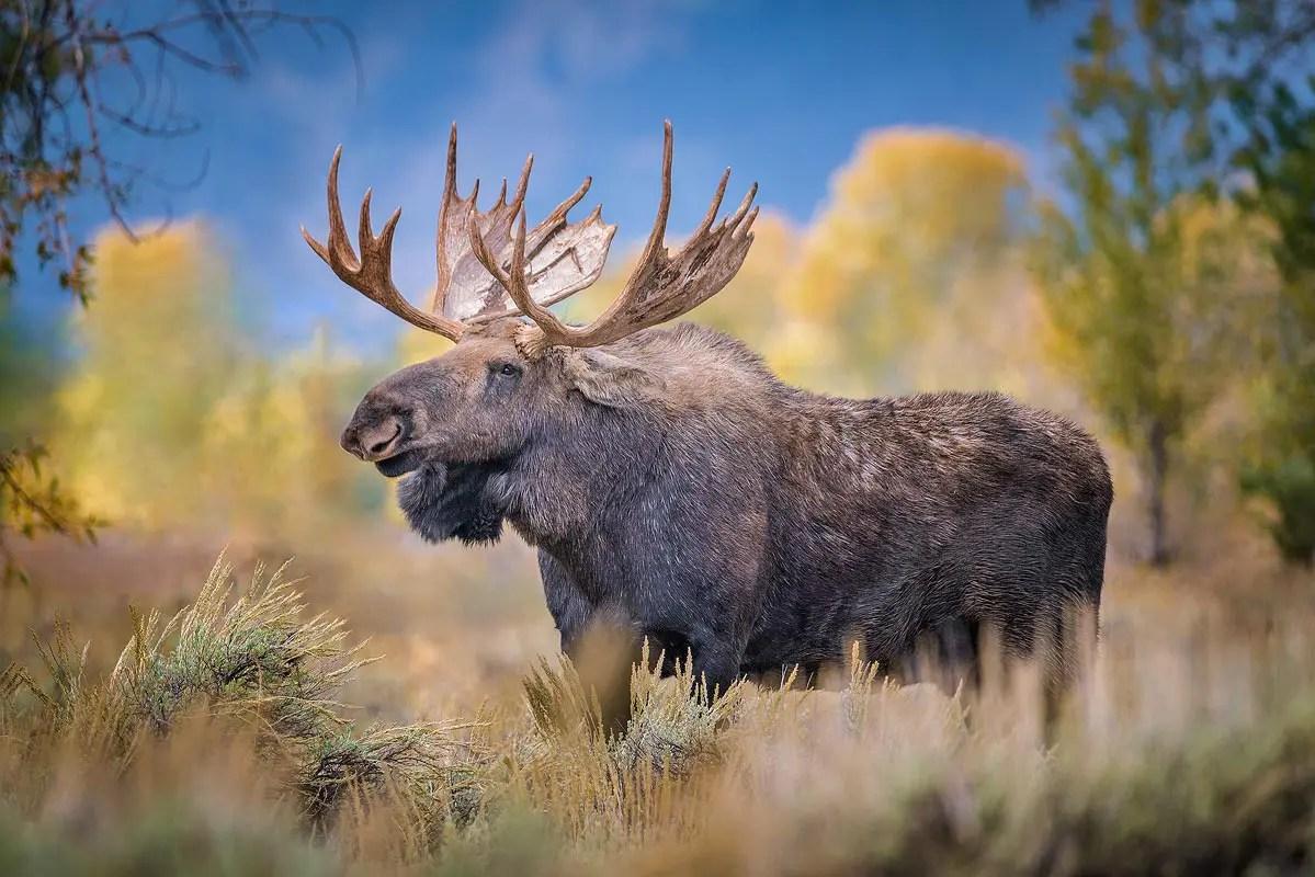 Shashone Moose Grand Teton National Park Wyoming