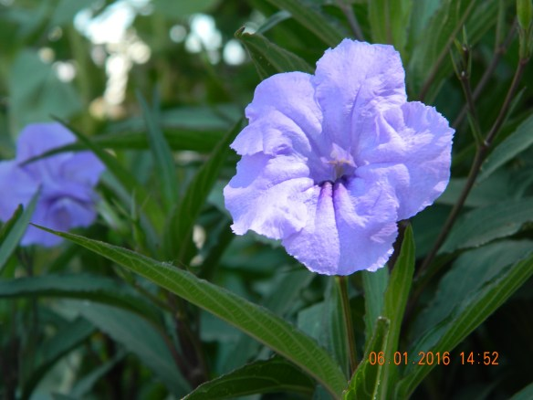 30 x 30 Purple flower June 1