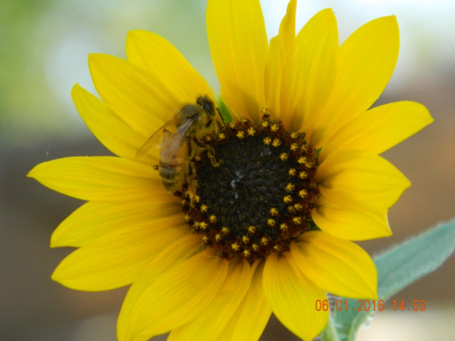 30 x 30 close up yellow flower and bee June 1
