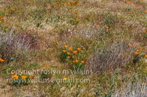 antelope-valley-poppies-041017-057-C-500px