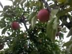 빨간 사과나무...