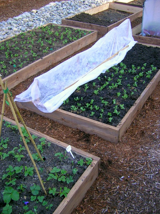 tomato plant beds