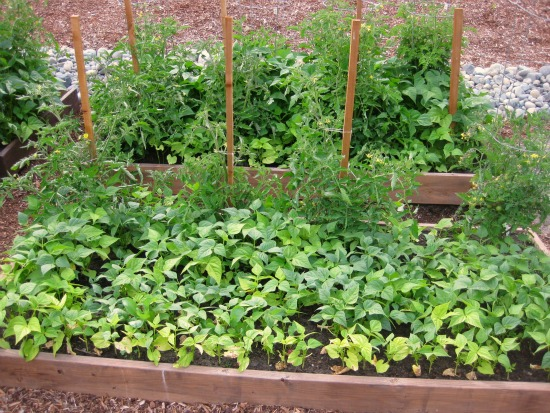 growing a companion garden