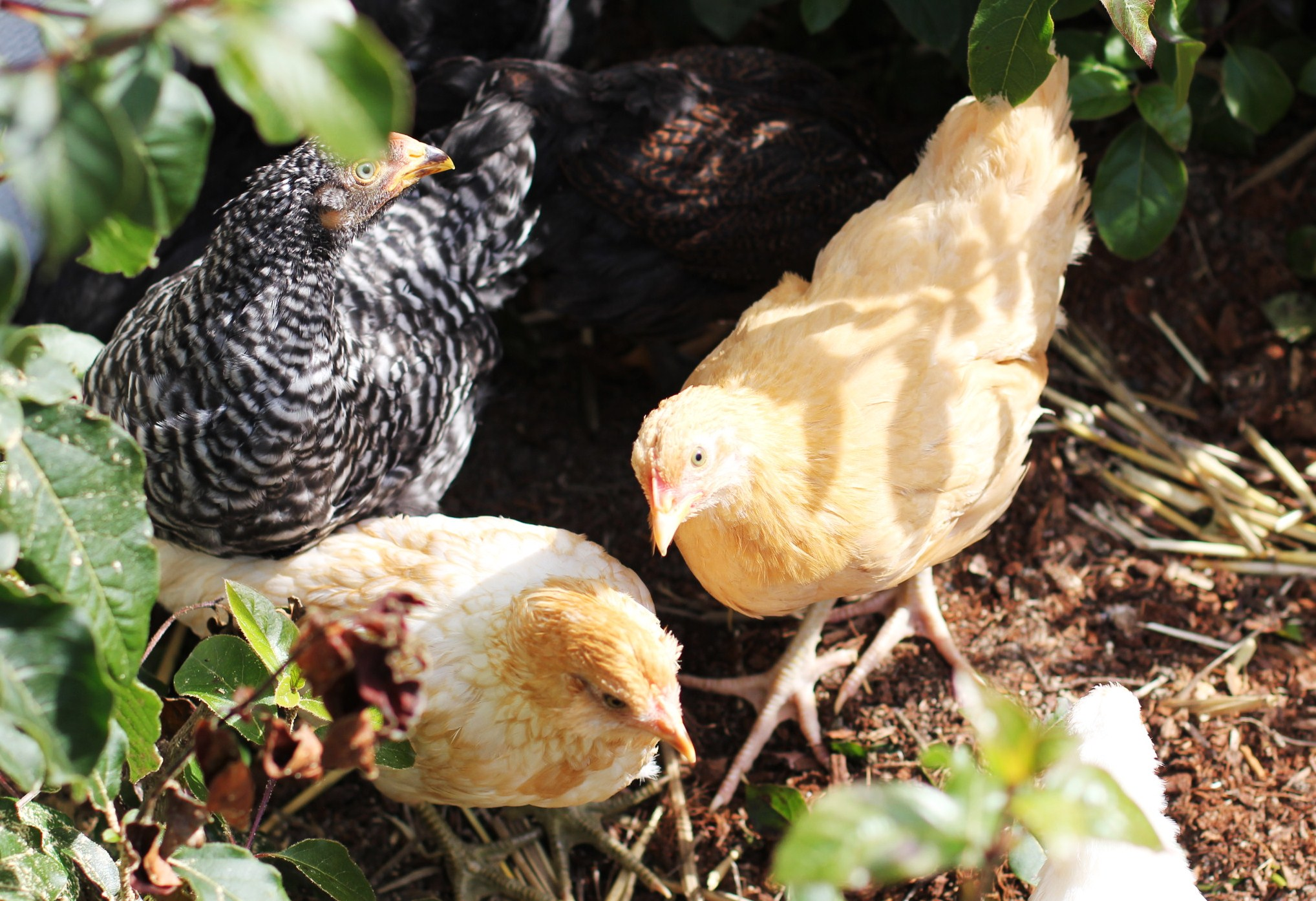 raising backyard chickens as pets one hundred dollars a month