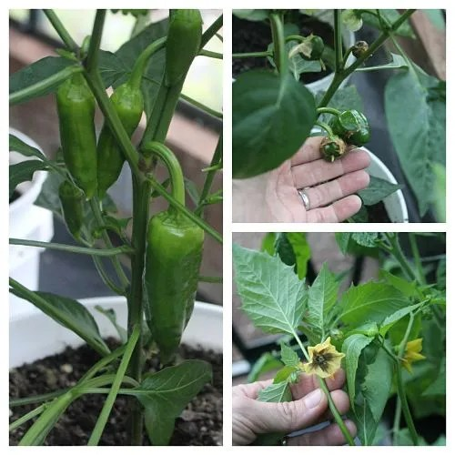 grow peppers in a greenhouse