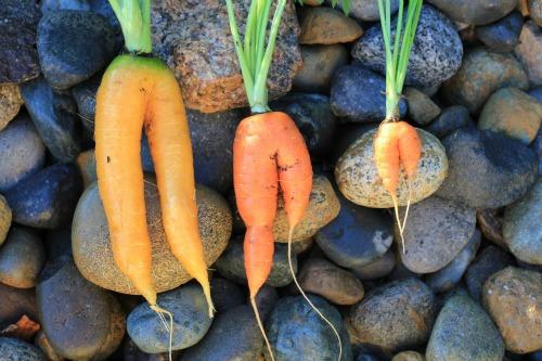 mutant carrots