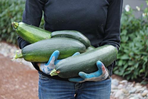 black beauty zucchini