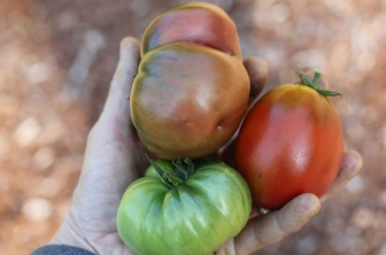 heirloom tomatoes picture