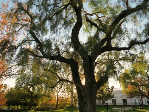 tree at richard nixon birthplace