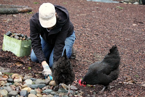mavis black australorp chicken