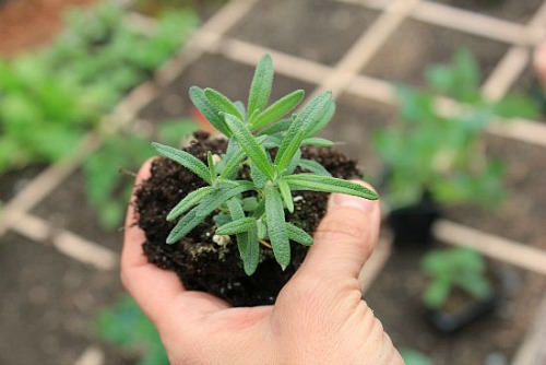 rosemary plant organic gardening