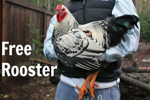 silver-laced-wyandotte-rooster1