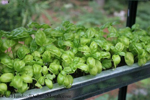 How to Grow Basil {Start to Finish} - One Hundred Dollars a Month