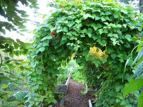 green bean vines