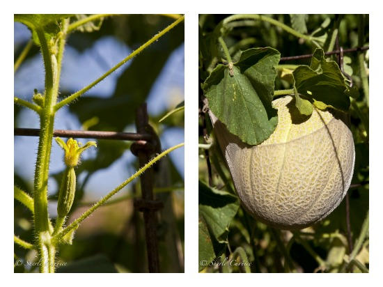 grow vegetables in tomato cages