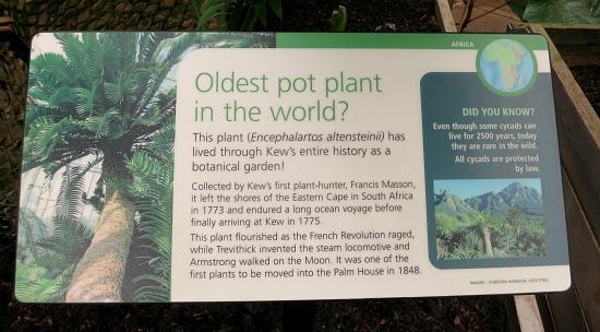 kew gardens oldest pot plant