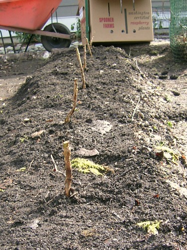 raspberry cane how to plant