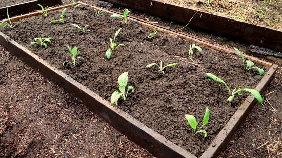 artichoke raised garden beds