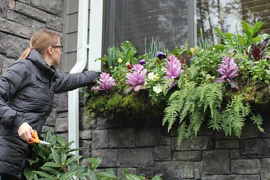 grow Swiss chard in window box