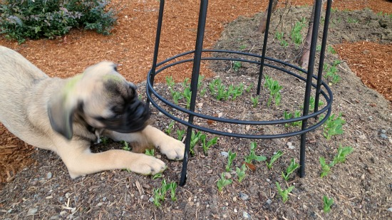 keeping pets out of the garden peas