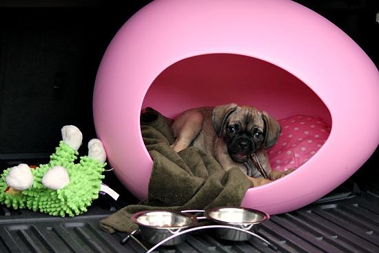 pEI egg dog beg puggle dog