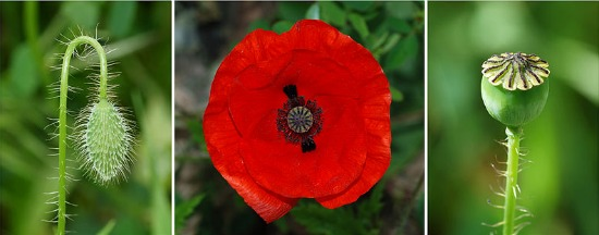 how to start poppies from seed