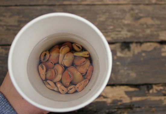 soak fava beans before planting