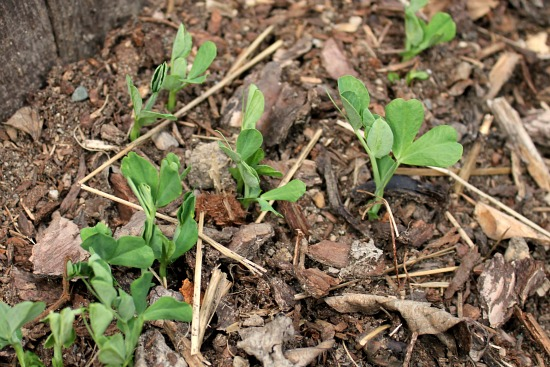 what do pea seedlings look like