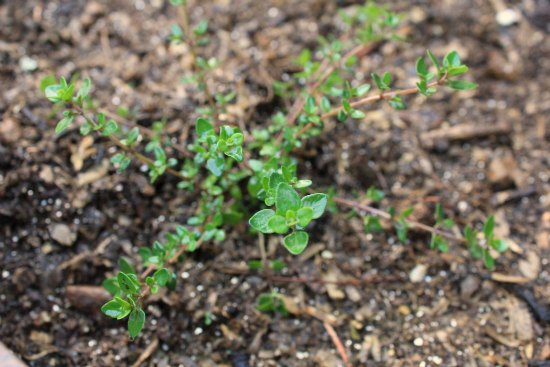 Container Herb Garden thyme
