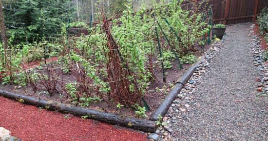 cascadia raspberry canes