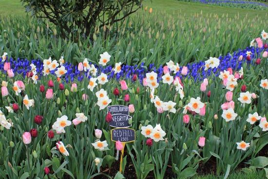 daffodil grape hyacinth tulip border