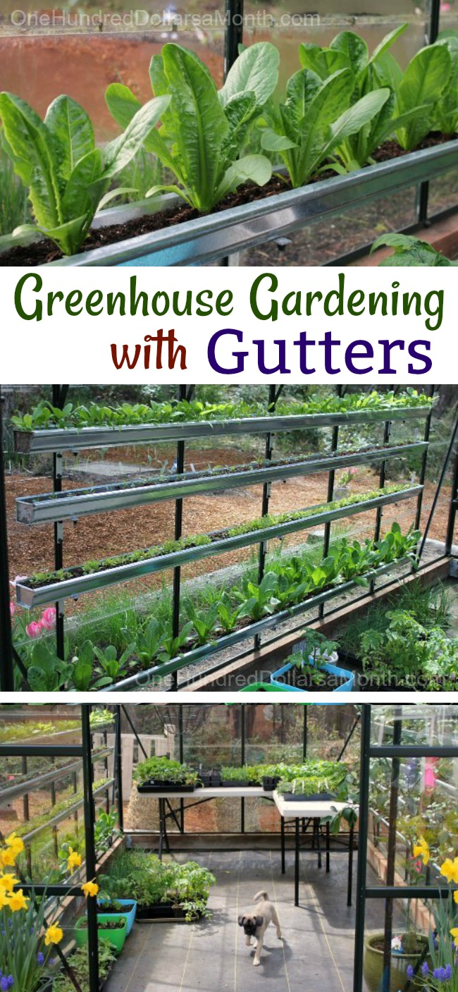How To Grow Vegetables In A Greenhouse U2013 Lettuce, Spinach, Tomatoes, Basil  And More