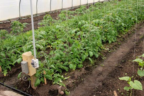 greenhouse tomatoes eliot coleman