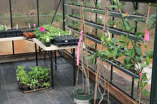 grow strawberries in gutters
