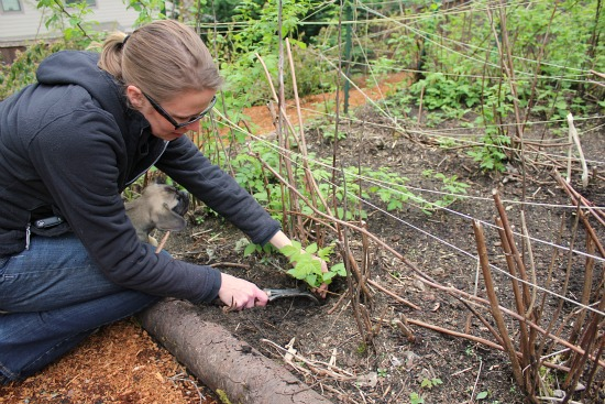 how to plant raspberry canes