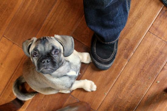 puggle puppy 5 months