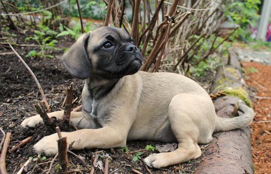 puggle puppy dog tan brown