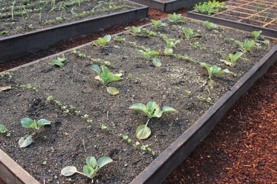 raised garden bed cabbage