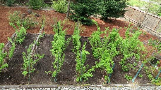 raspberry plants western washington