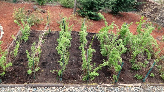 rows of raspberry canes plants
