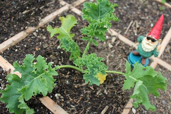 square foot gardening kale