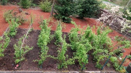 western washington raspberry canes