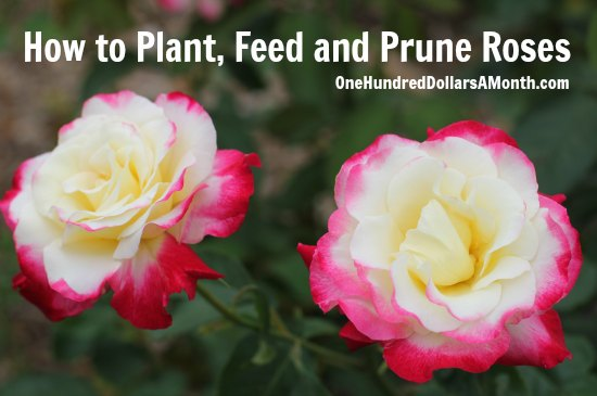How to Plant, Feed and Prune Roses