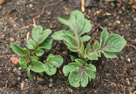 blue potato leaves