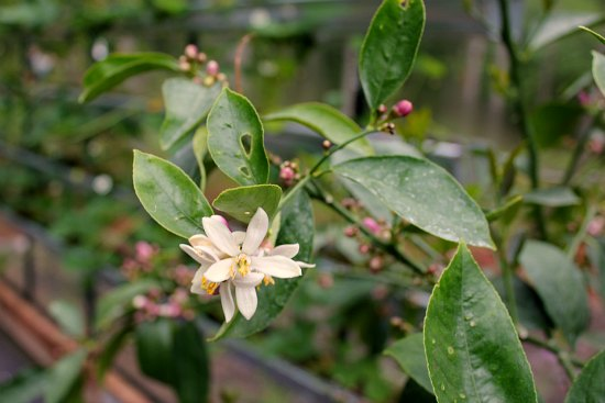 meyer lemon tree blossom