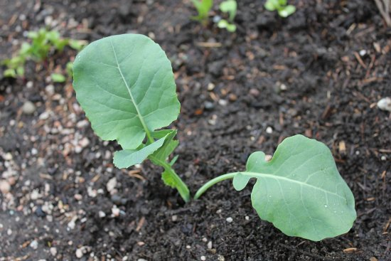 organic broccoli plant garden