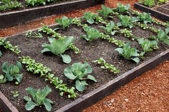 organic cabbage raised garden bed